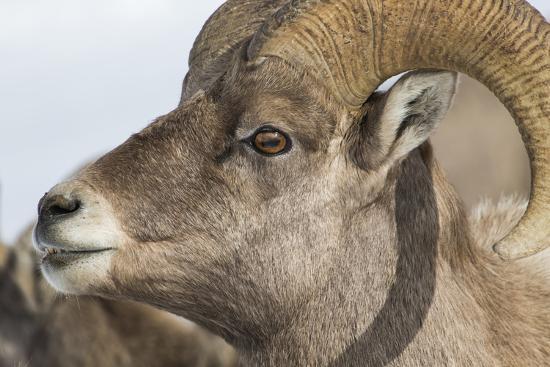 USA, Wyoming, National Elk Refuge, Bighorn sheep ram-Elizabeth Boehm-Premium Photographic Print
