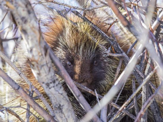 USA, Wyoming, porcupine sits in a willow tree in February.-Elizabeth Boehm-Photographic Print
