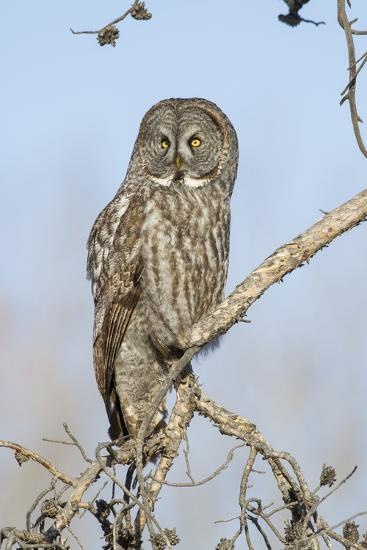 USA, Wyoming, Portrait of Great Gray Owl on Branch-Elizabeth Boehm-Photographic Print