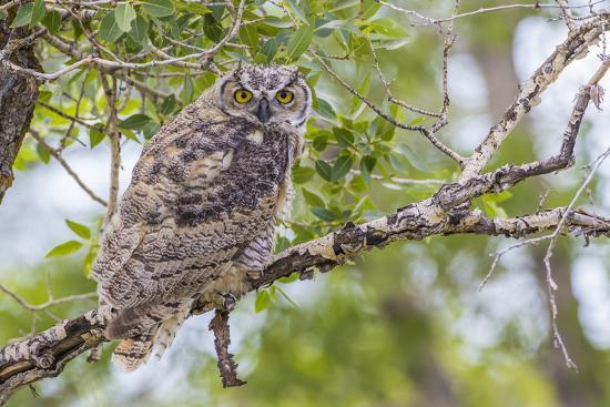 USA, Wyoming,  recently fledged Great Horned Owl roosts in a cottonwood tree.-Elizabeth Boehm-Premium Photographic Print