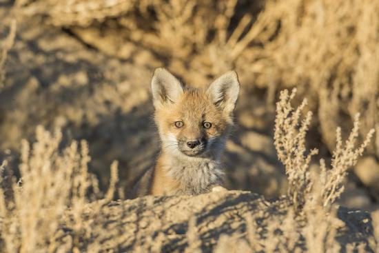 USA, Wyoming,  red fox kit peers from it's den in the desert.-Elizabeth Boehm-Premium Photographic Print