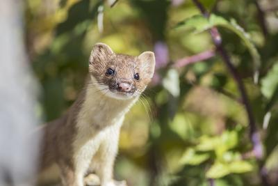 USA, Wyoming, Sublette County, Long-Tailed Weasel-Elizabeth Boehm-Photographic Print