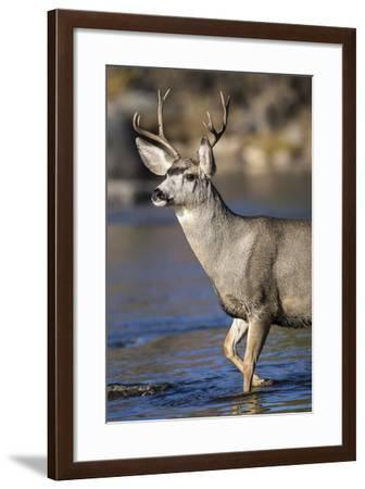USA, Wyoming, Sublette County, Mule Deer Buck Crossing River-Elizabeth Boehm-Framed Photographic Print