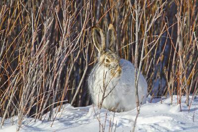 USA, Wyoming, White Tailed Jackrabbit Sitting on Snow in Willows-Elizabeth Boehm-Photographic Print