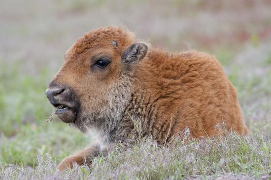 USA, Wyoming, Yellowstone National Park, Bison Calf Resting and Chewing Grasses-Elizabeth Boehm-Photographic Print