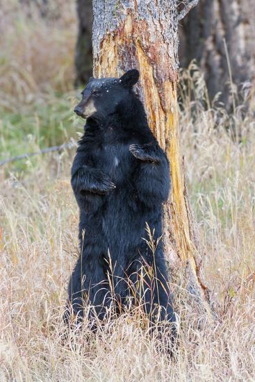 USA, Wyoming, Yellowstone National Park, Black Bear Scratching on Lodge Pole Pine-Elizabeth Boehm-Photographic Print