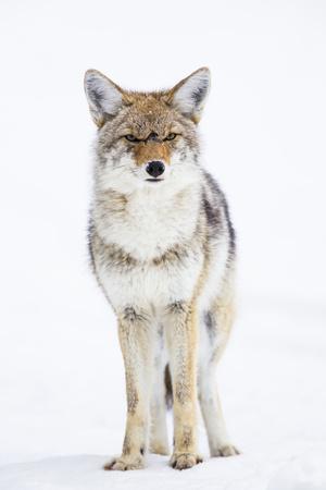 https://imgc.artprintimages.com/img/print/usa-wyoming-yellowstone-national-park-coyote-in-snow_u-l-pxrwpk0.jpg?p=0