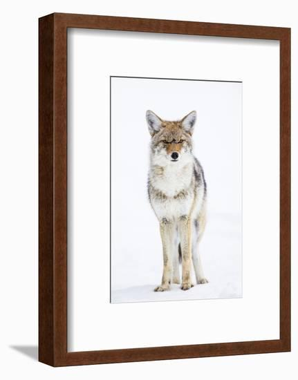 USA, Wyoming, Yellowstone National Park, Coyote in Snow-Elizabeth Boehm-Framed Photographic Print