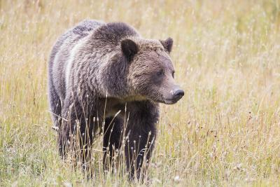 USA, Wyoming, Yellowstone National Park, Grizzly Bear Standing in Autumn Grasses-Elizabeth Boehm-Photographic Print