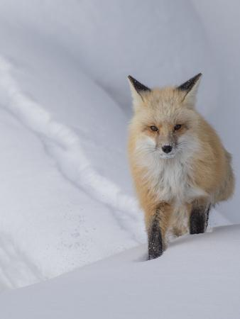 https://imgc.artprintimages.com/img/print/usa-wyoming-yellowstone-national-park-red-fox_u-l-q1gxlmq0.jpg?p=0