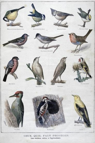 Useful Birds in Agriculture, 1896-A Clement-Giclee Print