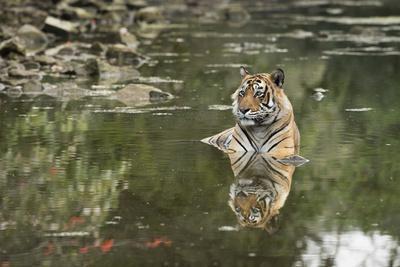 https://imgc.artprintimages.com/img/print/ustaad-t24-royal-bengal-tiger-tigris-tigris-ranthambhore-rajasthan-india_u-l-pwfu530.jpg?artPerspective=n