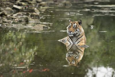 Ustaad, T24, Royal Bengal Tiger (Tigris Tigris), Ranthambhore, Rajasthan, India-Janette Hill-Photographic Print