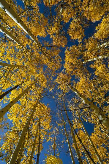 Utah, Autumn Aspen and Sky, Big Cottonwood Canyon, Wasatch Range-Judith Zimmerman-Photographic Print