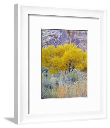 Utah, Capitol Reef National Park, Cottonwood Tree-Jamie & Judy Wild-Framed Photographic Print