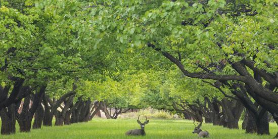 Utah, Capitol Reef National Park. Deer in Sylvan Orchard-Jaynes Gallery-Photographic Print