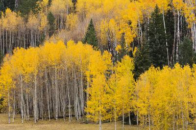 Utah, Dixie National Forest, Aspen Forest Along Highway 12-Jamie And Judy Wild-Photographic Print