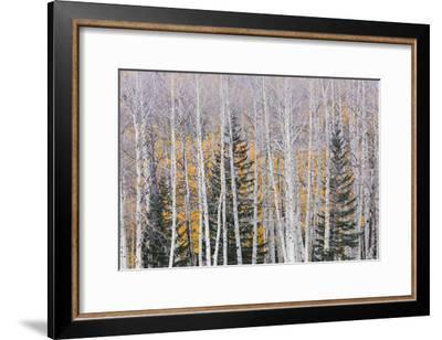 Utah, Fishlake National Forest. Aspen and Conifer Trees-Jaynes Gallery-Framed Photographic Print