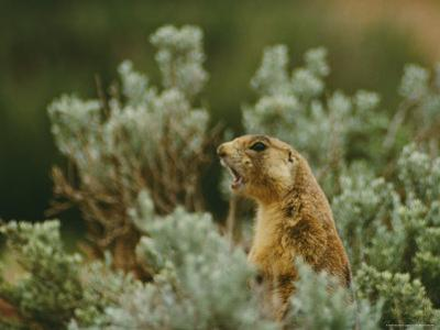 Utah Prairie Dog Vocalizing at Bryce Canyon National Park