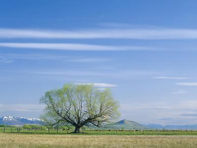 Utah. USA. Willow Tree and Cirrus Clouds in Spring. Cache Valley-Scott T^ Smith-Photographic Print