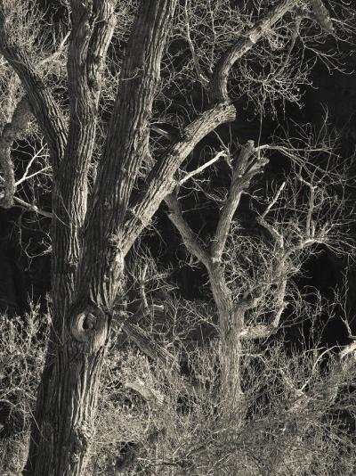 Utah, Zion National Park, Bare Silver Trees, Temple of Sinawava Area, Winter, USA-Walter Bibikow-Photographic Print
