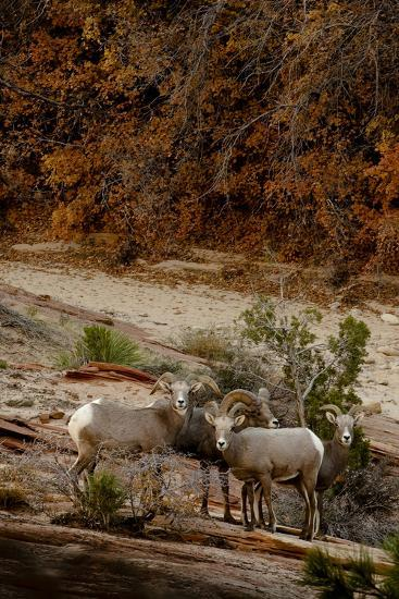 Utah, Zion National Park, Big Horn Sheep Gathered on Rocky Ledge with Autumn Foliage in Background-Judith Zimmerman-Photographic Print