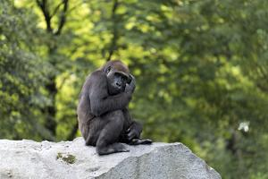 Animal photography, young gorilla sits on big stone and scratches thoughtfully in the head, in the  by UtArt