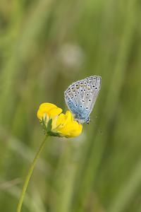 gossamer-winged butterfly on yellow blossom in meadow, summer, by UtArt