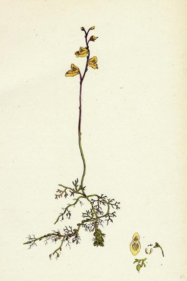 Utricularia Minor Lesser Bladderwort--Giclee Print