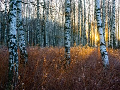 Close-Up of Birch Tree Trunks in Forest by Utterström Photography