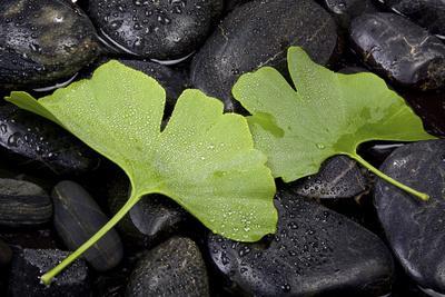 Ginko Leaf on Black Stones