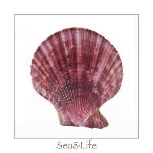Maritime Still Life with Scallop by Uwe Merkel