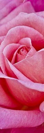 Rose Bloom, Close-Up