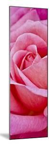 Rose Bloom, Close-Up by Uwe Merkel