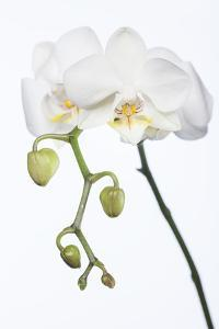 White Orchid by Uwe Merkel