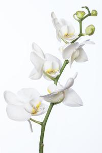 White Orchid by Uwe Merkel