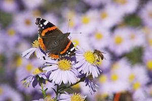 Butterfly, Red Admiral and Insect on Aster Blossoms by Uwe Steffens