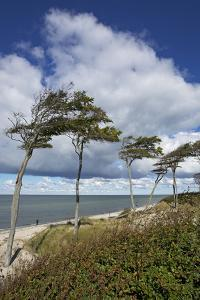 Windswept Pines on the Western Beach of the Darss Peninsula by Uwe Steffens