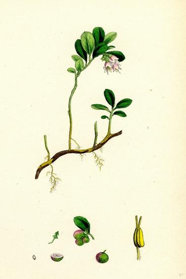 Vaccinium Vitis-Idaea Red Whortleberry--Giclee Print