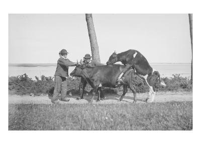 Vache et taureau--Giclee Print