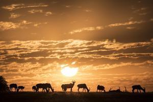 Topis at sunrise, Maasai Mara, Kenya, East Africa, Africa by Vahe Yeremyan