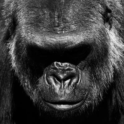Gorilla by VAILLANCOURT PHOTOGRAPHY