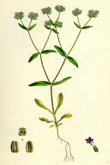 Valerianella Carinata Carinated Lamb's-Lettuce--Giclee Print
