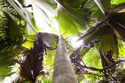 Vallee De Mai, Praslin, Seychelles, Africa, Rain Forest, UNESCO World Heritage Site, Coco De Mer-Harry Marx-Photographic Print