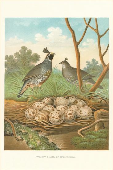 Valley Quail Nest and Eggs--Art Print