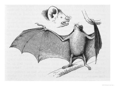Vampire Bat (Desmodus d'Orbignyi) Caught at the Back of Darwin's House in Chile South America-R^t^ Pritchett-Giclee Print