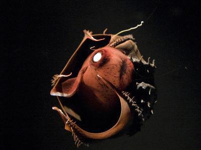 Vampire Squid Going into Opineappleo Defense--Photographic Print
