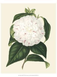 Antique Camellia I by Van Houtte