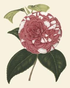 Antique Camellia II by Van Houtte