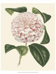 Antique Camellia III by Van Houtte